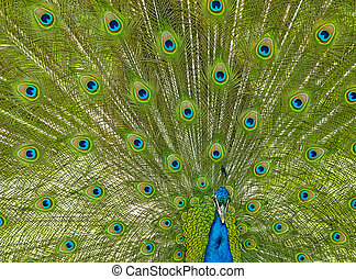 Male peacock with his tail feathers in full display.