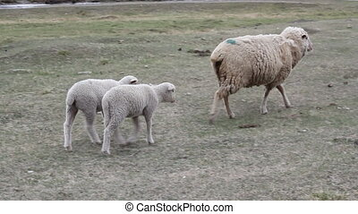Ewe with her two lambs to pasture