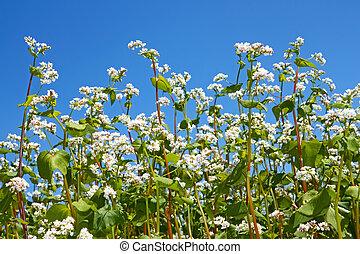 Flowering buckwheat plants - Group of flowering buckwheat...