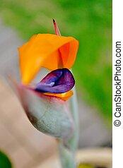 reginae strelitzia - Close up of reginae strelitzia flower...