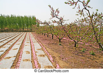 peach orchard and field, on a farm, north China