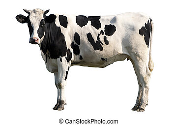 cow - Black and white cow isolated