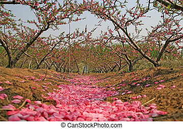 peach blossom bloom in an orchard north china