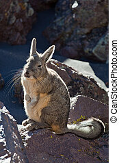 Viscacha - Andean animal viscacha Lagidium peruanum