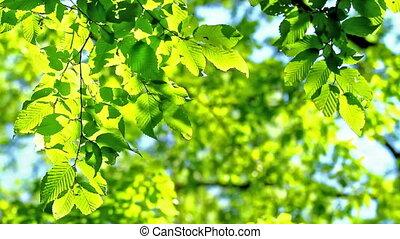 Leaves - Hornbeam leaves in spring