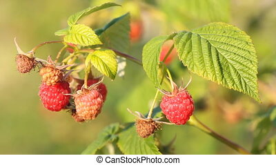 red raspberry - Bunch of a red raspberry