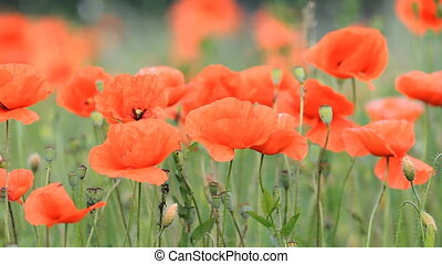 beautiful red poppies - Field of beautiful red poppies