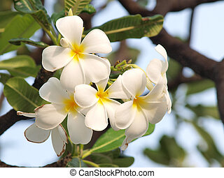 Branch of tropical flowers frangipani plumeria