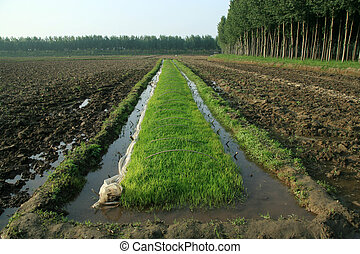 rice seedbed field crops plant