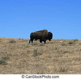Bison - American bison in a field beneath blue sky