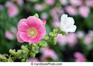 Pink hollyhock (Althaea rosea) blossoms