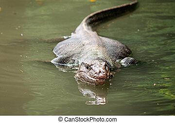 Wild varanus on the water ,Focus on the varanus eye -...