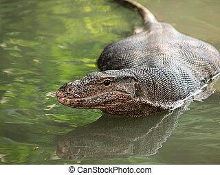 Wild varanus on the water ,Focus on the varanus eye