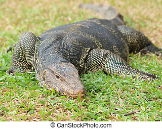 Closeup of monitor lizard - Varanus on green grass focus on...