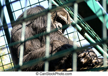 Monkey man in cage - An African monkey in captivity at the...