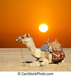 camel sits - in the summer holiday on a camel ride