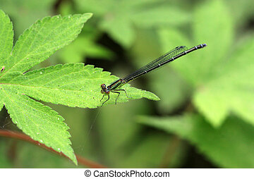 damselfly - a kind of insects named damselfly
