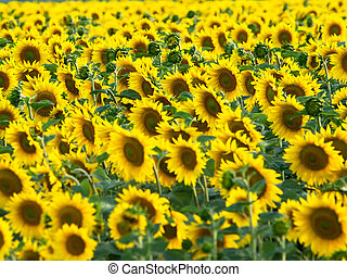 sunflower field with lot of yellow flowers