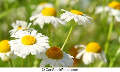 daisies in a field