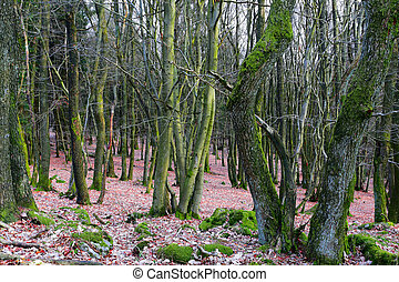 Dense bech and oak forest mit much moss in spring, near...