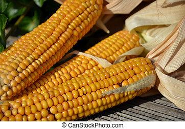 amarillo, maíz, Mazorcas, Secado, de, sol