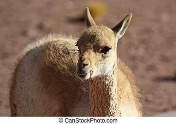 Young vicuna - Camelid of arid areas - vicuna