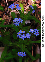 Wildflower - Forget Me Not - Myosotis scorpioides