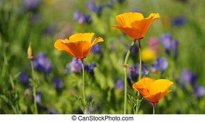 Californian poppy in a meadow