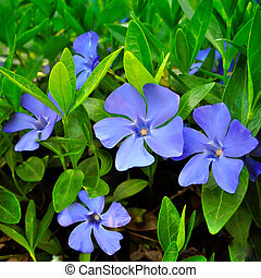 Several periwinkle against a background of green foliage