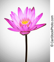 Flower Blooming. Oriental plant lotus