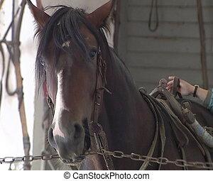 horse prepare for race