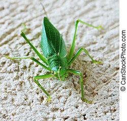 katydid - a katydid grasshopper