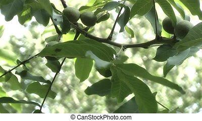 Walnut Tree,