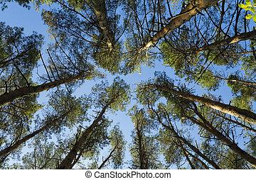 blauwe, Hemel, Kroon, Bomen, hoog, groene, tegen