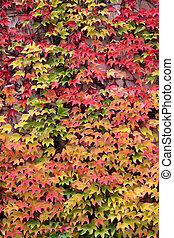 Colored leaves of the wild vine in autumn at St Goar in the...