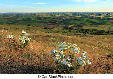 Palouse with White Wildflowers - The beautiful hills of...