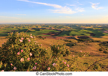 Hills of Palouse with Wild Roses - The beautiful hills of...
