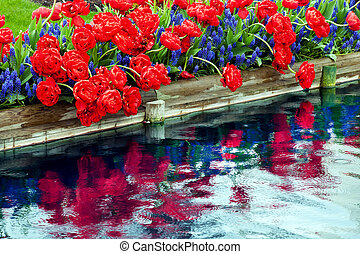 Red Tulips Blue Grape Hyacinths Muscari Flowers Reflection...