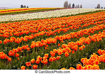 Red Orange White Tulips Flowers Field Skagit Valley Farm...