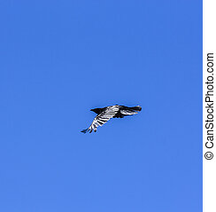 raven flying in the blue sky