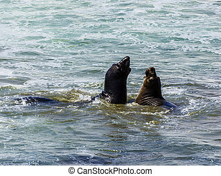 sea lions fight in the waves of the ocean - male sea lions...