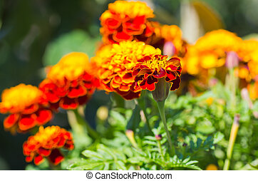 Tagetes - Plants of red and yellow double Marigold in...