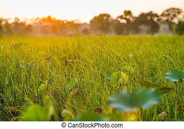 grass at sunset in the evening