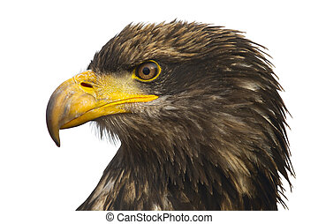 Portrait of the eastern eagle - A Stellers sea-eagle...