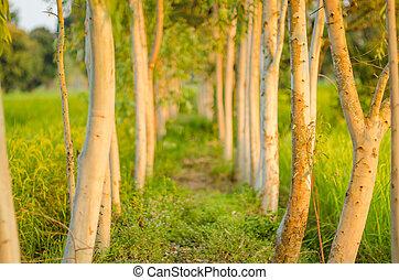 eucalypt, boompje, natuur