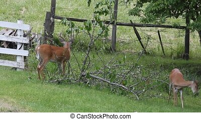 Whitetail Buck and a Doe - Cherry branchs were cut down and...