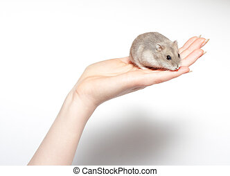 sitting hamster isolated on white - sitting hamster isolated...