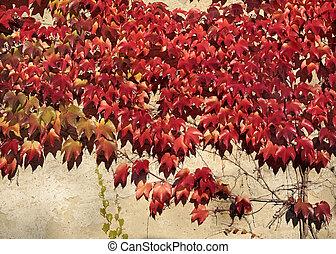 Red vine leaves on a wall in Eltville, Rheingau, Hesse,...