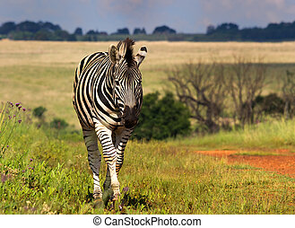 Beautiful Zebra incoming from a nice low angle