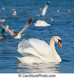 White swans floating on the water - Beautiful white swans...